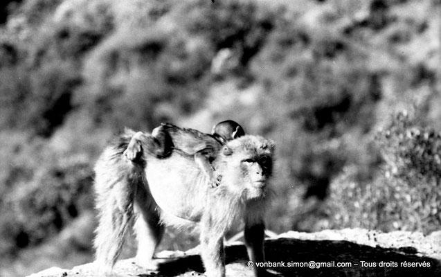 [NB055-1978-18] Gorges de Kherrata - Magots