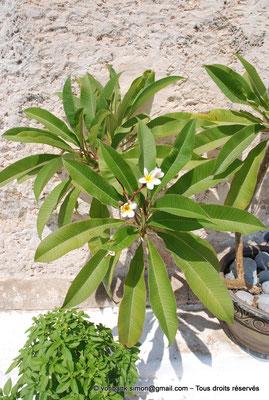 [NU900x-2013-0132] Crète - Chrysoskalítissa : Végétation à flanc de falaise le long de l'escalier d'accès au monastère (Frangipanier)