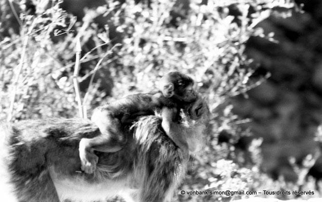 [NB055-1978-26] Gorges de Kherrata - Magots