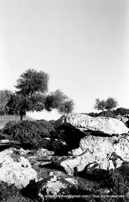 [NB025-1978-57] Roknia : Oliviers et dolmen