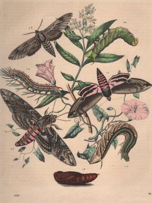 Insekten, Stahlstich, col., 1863, 21,3 x 17,5 cm, Art Anst v E. Hochdanz / 40 Euro
