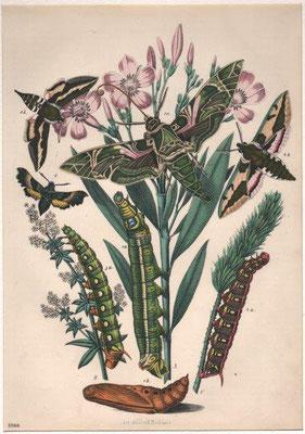 Insekten, Stahlstich, col., 1866, 22,5 x 16,0 cm, Art Anst v E / 40 Euro
