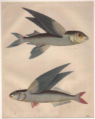 Fliegende Fische, Stahlstich, col., 1844, 20,0 x 17,0 cm, Lith. Anst / 40 Euro
