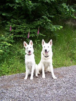 Weisse Schäferhunde in Sachsen Mittlerer Erzgebirgskreis