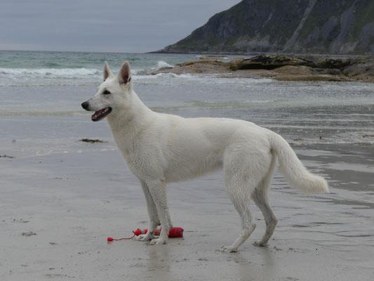 White of the Arctic Zuchtsätte für Weiße Schweizer Schäferhunde in Sachsen
