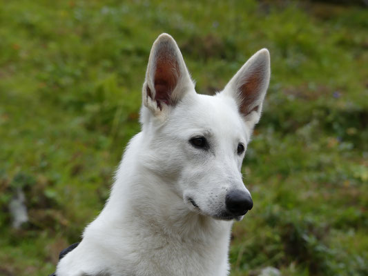 Weisse Schäferhunde in Sachsen