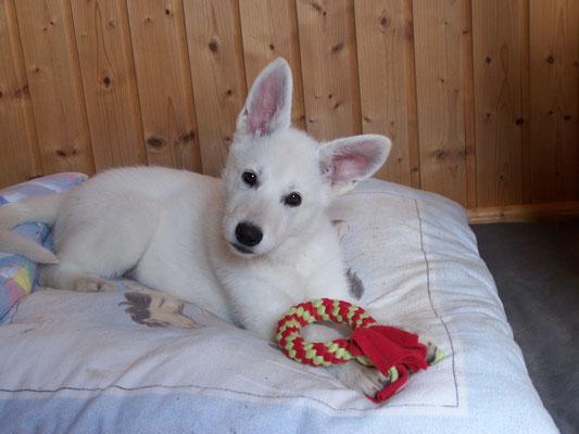 Weisser Schweizer Schäferhund Welpe
