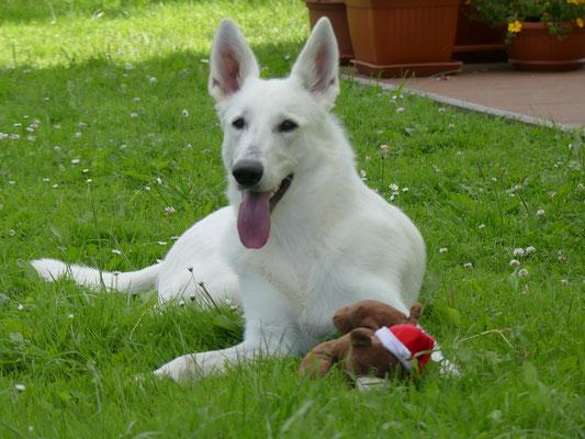 Zuchthündin Weisse Schäferhunde in Sachsen