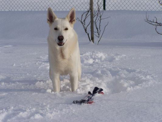 White of the Arctic- Deckrüde Stockhaar weisser schäferhund