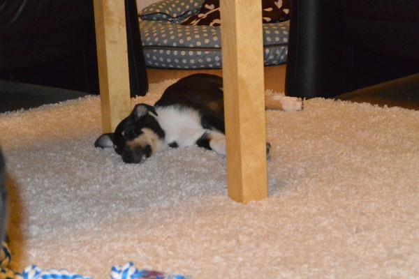 Auf dem Teppich kann man gut schlafen (8 Wochen alt) Blade liegt flach schlafend auf dem Wohnzimmerteppich.