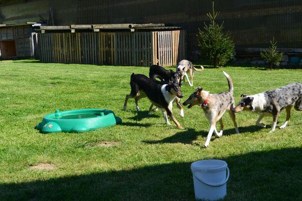 Geschwistertreffen (10 Monate alt) Blade rennt mit mehreren seiner Geschwister über eine Wiese.