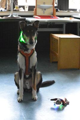 Mein Plüschkumpel Wauzi (ein sehr kleiner Stofftierhund) und Blade mit Leuchthalsbändern im Klassenraum.