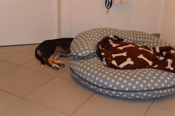 UNTER dem Hundekissen schläft es sich auch gut (8 Wochen alt)