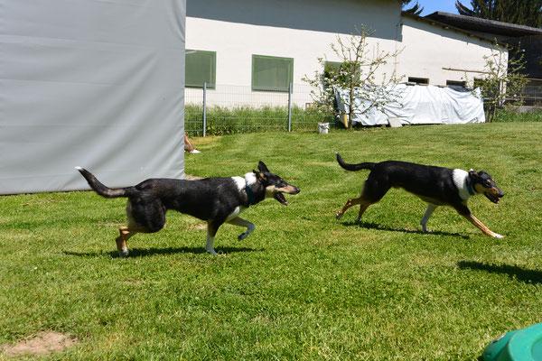 Geschwistertreffen (10 Monate alt) Blade rennt mit seinem Bruder über eine Wiese.