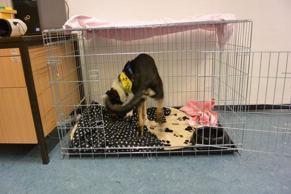 meine neue Hundebox für die Schule (20 Wochen alt) Blade untersucht seine neue Box, die aussieht wie ein großer Käfig.