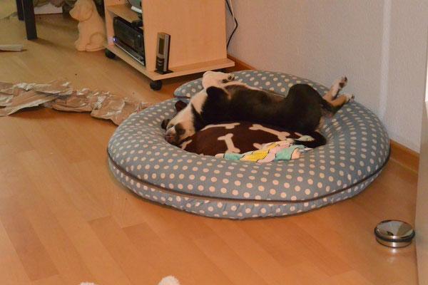 Schlaf-Yoga (8 Wochen alt) Blade schläft auf dem Rücken in seinem Körbchen, die Beine in verschiedene Richtungen nach oben gestreckt.