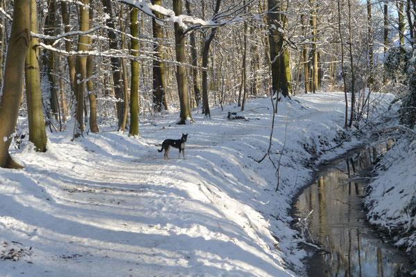 Schneespaziergang (7 Monate alt) Blade läuft auf einem verschneiten Weg im Wald an einem Bach entlang.