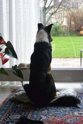 Eichhörnchen beobachten (8 Monate alt) Blade sitzt auf einem Kissen vor einem bodentiefen Fenster und beobachtet, was draußen passiert.