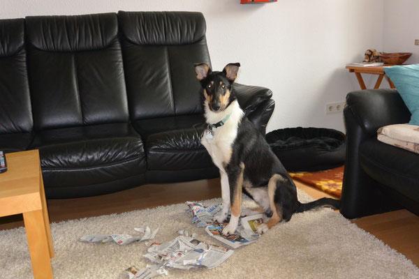 Ich war's nicht! (6 Monate alt) Blade sitzt im Wohnzimmer mitten in einer zerrissenen Zeitung und guckt unschuldig in die Kamera.