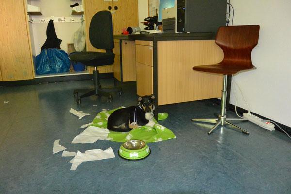 Schule erkunden (9 Wochen alt) Blade liegt im Klassenraum auf einer Decke neben dem Schreibtisch.