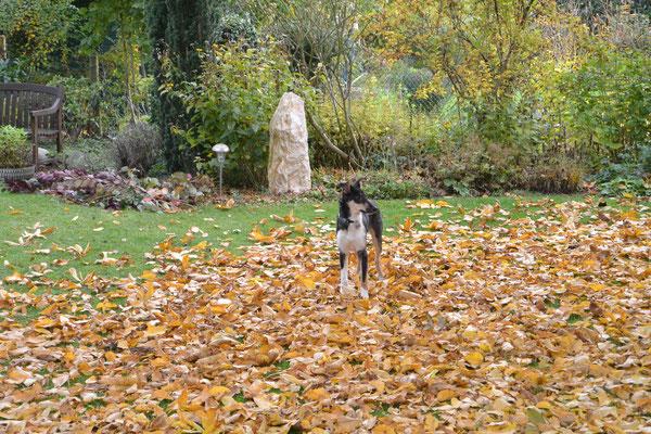 schon ist Herbst geworden (19 Wochen alt) Blade sitzt im Garten in heruntergefallenem roten und orangefarbenen Herbstlaub.