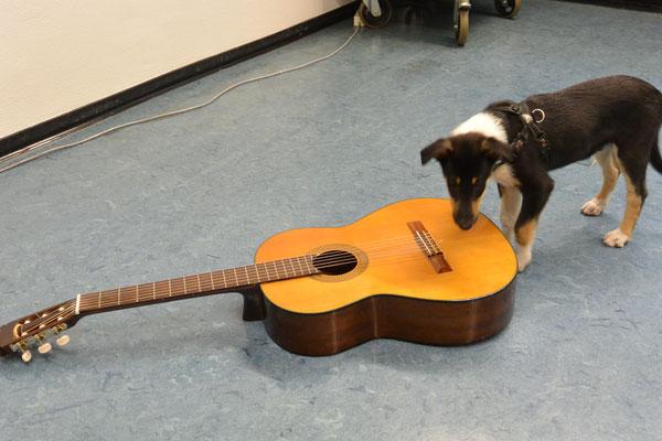 komisches Ding (9 Wochen alt) Blade untersucht eine Gitarre, die auf dem Fußboden liegt.