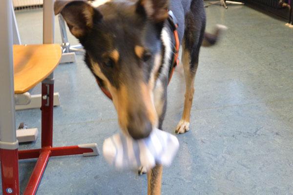 Blade trägt einen Socken in seinem Maul und läuft damit Richtung Kamera.