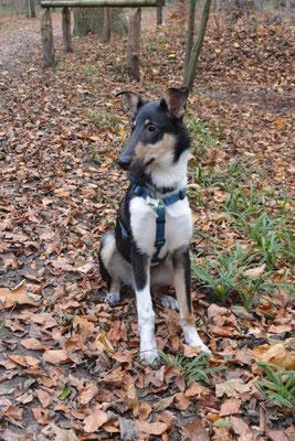 so groß - schon fast ein Junghund (21 Wochen alt) Blade sitzt im Wald und sieht schon richtig groß aus.
