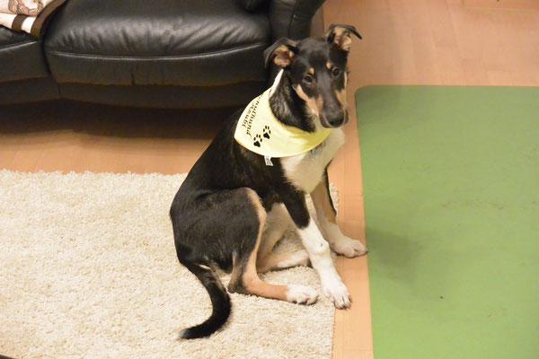 müder Schulhund-Azubi (16 Wochen alt) Blade trägt sein Schulhund-Halstuch, sitzt auf dem Boden und schaut sehr müde in die Kamera