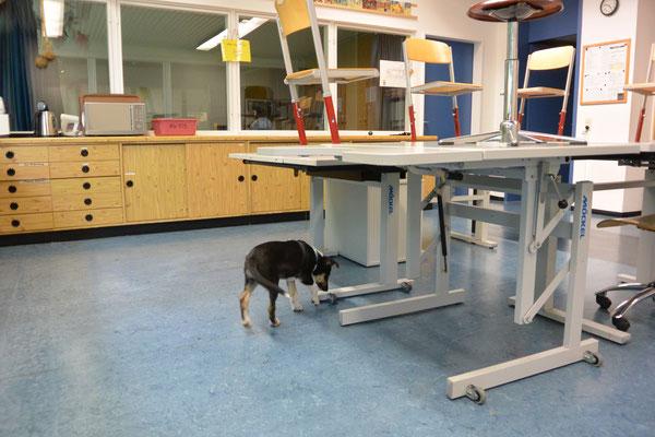Schule erkunden (9 Wochen alt) Blade beschnuppert die Schülertische im Klassenraum.