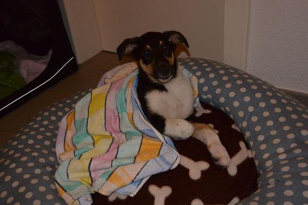 draußen hat es geregnet - begossener Collie (8 Wochen alt) Blade ist pitschnass und schaut mit hängenden Ohren in die Kamera.