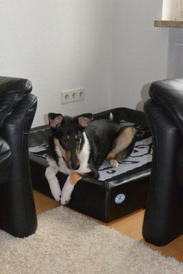 mein neues Lieblings-Hundebett (7 Monate alt) Blade liegt in seinem neuen Hundebett.