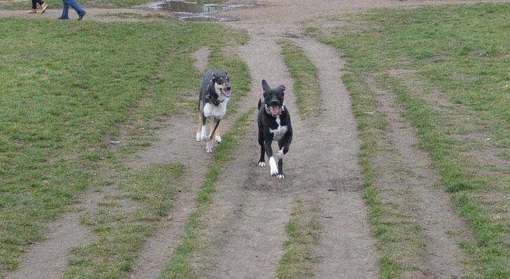 Rennen und toben mit Socke (9 Monate alt) Blade rennt mit einem schwarz-weißen Hund einen Feldweg entlang.