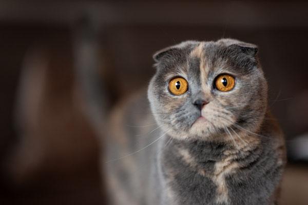 Katze, Familienkatze, Hauskatze, Stubentieger,