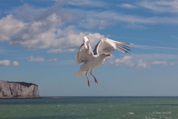Schwerelos, Silbermöwe spielt im Wind,  Dover, England