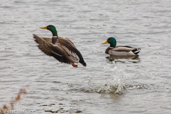 Husch, Stockente springt förmlich aus dem Wasser, Stormarn, Deutschland