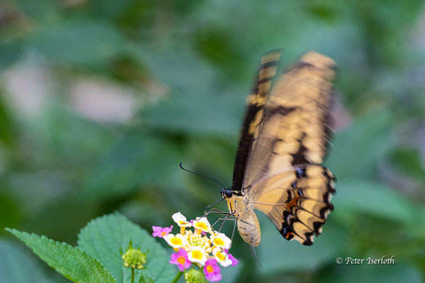 Schmetterling im Schmetterlings Garten, Aumühle, Deutschland