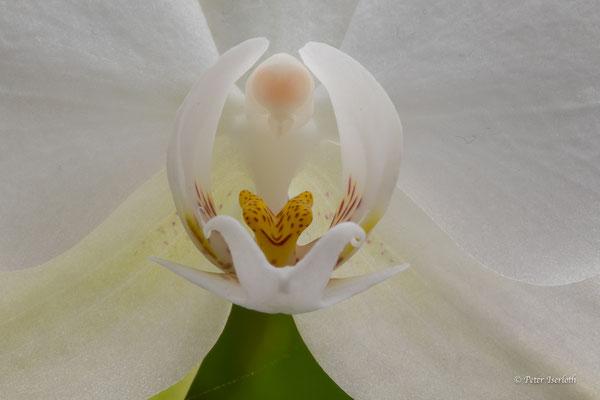Blüte Orchidee, Reinbek, Deutschland