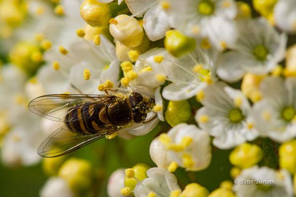 Auch Wespen gehen an den leckeren Nektar, Stormarn, Deutschland