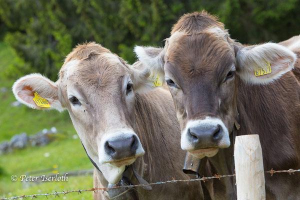 neugierige Kühe im Allgäu, Deutschland