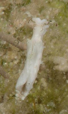 Elysia sp. 1