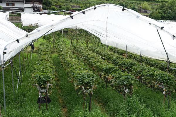 Hier wachsen Erdbeeren ...