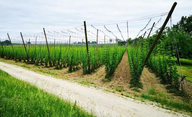 Hopfenanbau für das Nationalgetränk Bier