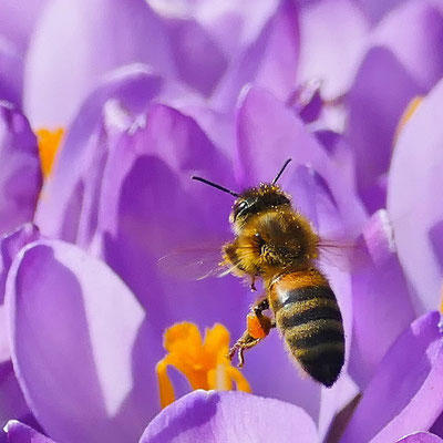 Dieter Rothe - Biene im Anflug