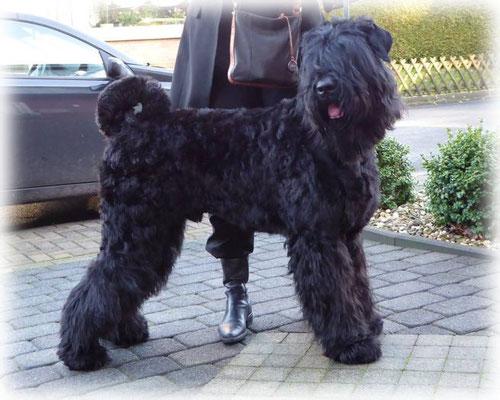 """Tschapka Akim, 12 Monate alter Russischer Schwarzer Terrier, sagt: """"Hallo"""""""