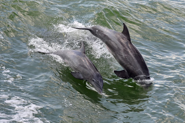 Delfine in Eile