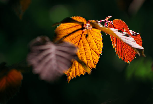 Hazel Leaves | Foto: Manfred Bick