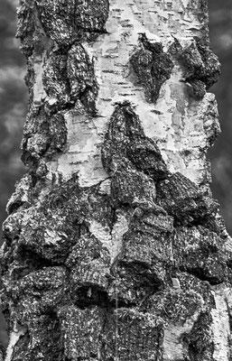 Bark of  a Birch Tree | Foto: Günter Albrecht