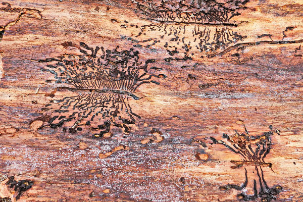 Bark-beetle-walkways | Foto: Hans-Jürgen Baumann