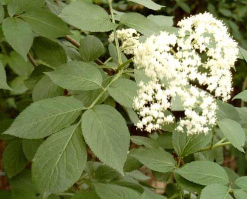 sambucus nigra, sommerliche Holderblüte
